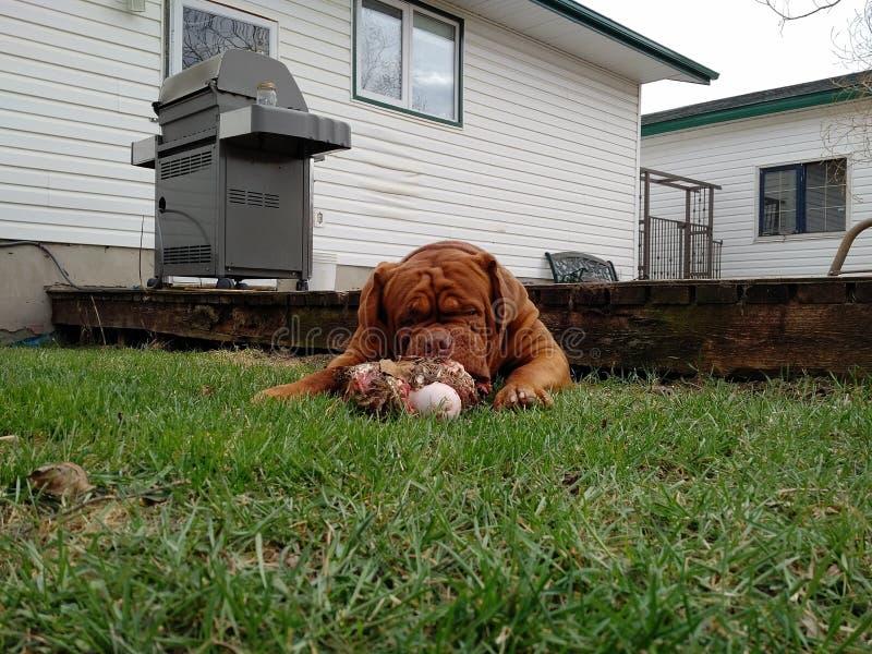 Μεγάλο μάσημα σκυλιών σε ένα κόκκαλο στοκ φωτογραφίες
