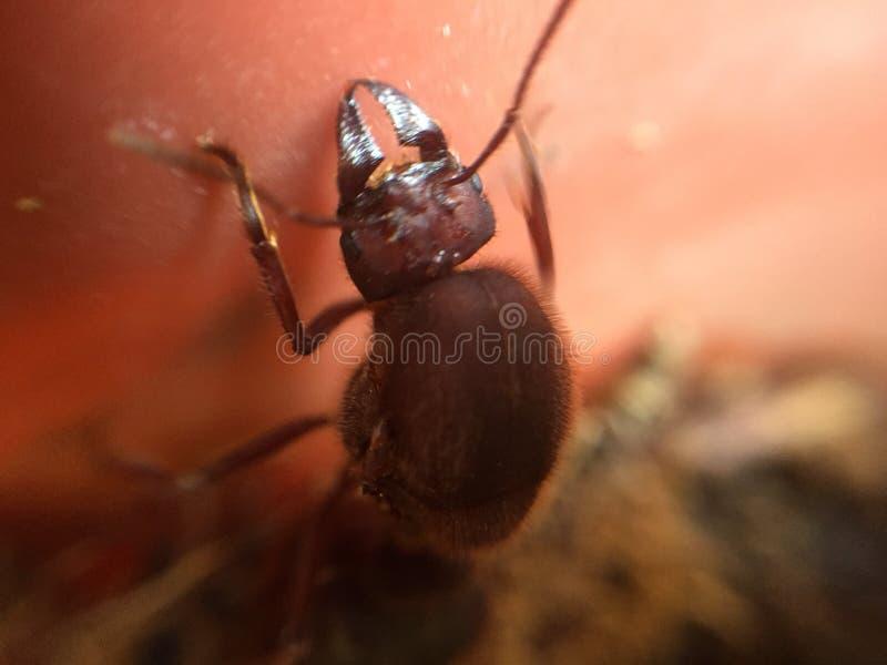 Μεγάλο μυρμήγκι στοκ εικόνες