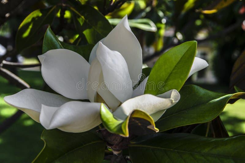 Μεγάλο λουλούδι magnolia στοκ εικόνες