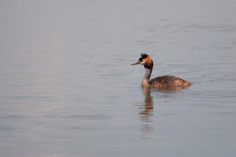 Μεγάλο λοφιοφόρο Grebe (cristatus Podiceps) που κολυμπά στη λίμνη στοκ φωτογραφίες