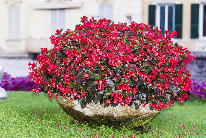 Μεγάλο δοχείο αργίλου με τα κόκκινα λουλούδια σε Sanremo, Ιταλία στοκ φωτογραφία με δικαίωμα ελεύθερης χρήσης