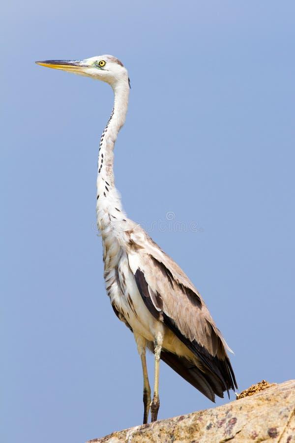 Μεγάλο πουλί τσικνιάδων ενάντια στο μπλε ουρανό στοκ φωτογραφίες