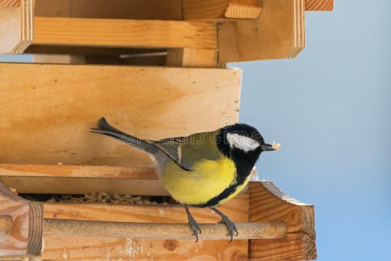 Μεγάλο πουλί tit στο κίτρινο και μαύρο χρώμα που σκαρφαλώνει στο ξύλινο πουλί στοκ εικόνα με δικαίωμα ελεύθερης χρήσης