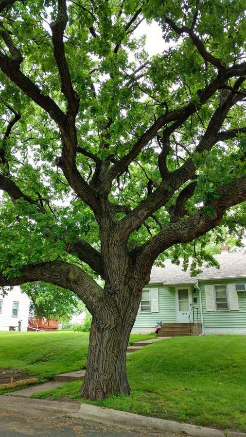 Μεγάλο πράσινο δέντρο με τους τεράστιους άνεμος κλάδους στοκ εικόνα με δικαίωμα ελεύθερης χρήσης