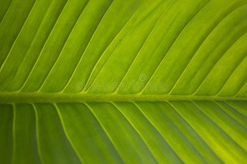 μεγάλο πράσινο φύλλο στοκ φωτογραφίες