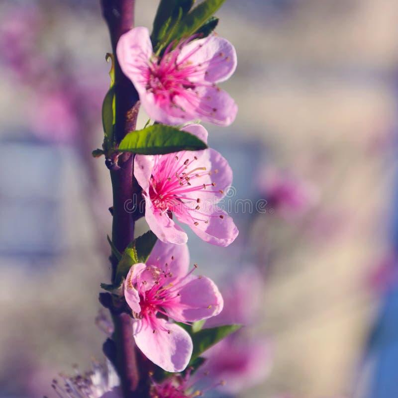 Μεγάλο ρόδινο λουλούδι τρία στοκ φωτογραφία
