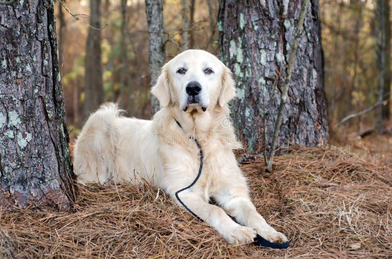 Μεγάλο σκυλί φυλάκων ζωικού κεφαλαίου των Πυρηναίων στοκ φωτογραφία με δικαίωμα ελεύθερης χρήσης