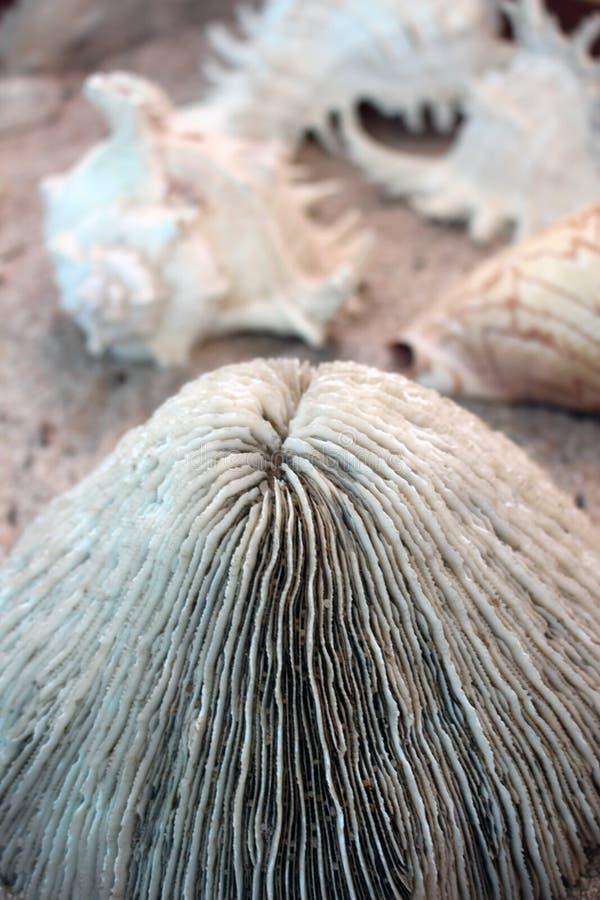 Μεγάλο στρογγυλό κοράλλι με τα θαλασσινά κοχύλια στοκ εικόνες με δικαίωμα ελεύθερης χρήσης