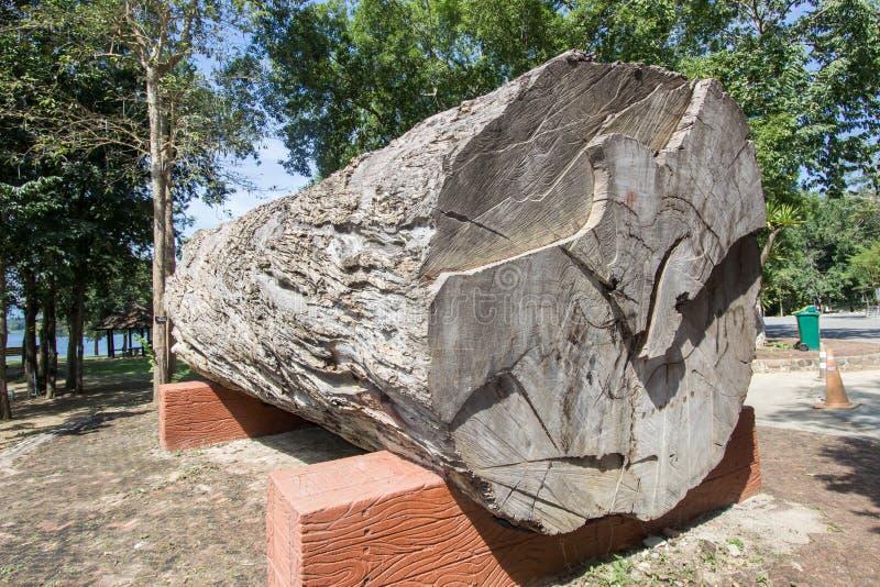 Μεγάλο όμορφο κούτσουρο του xylocarpamakha Afzelia στο εθνικό γραφείο πάρκων Kaeng Krachan, επαρχία Phetchaburi, Ταϊλάνδη στοκ φωτογραφία