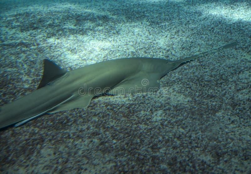 Μεγάλο sawfish, επίσης γνωστό ως καρχαρίας ξυλουργών στοκ φωτογραφία