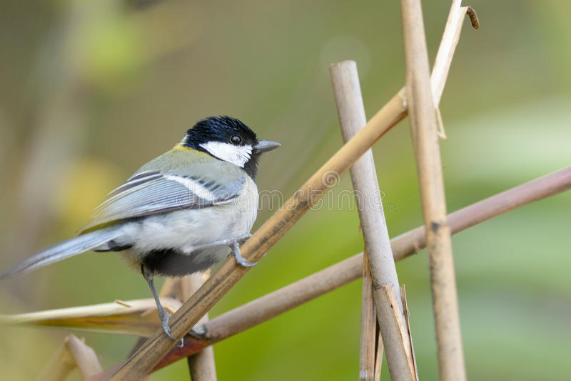 Μεγάλο Tit, όμορφο πουλί που σκαρφαλώνει στον κλάδο στοκ φωτογραφίες