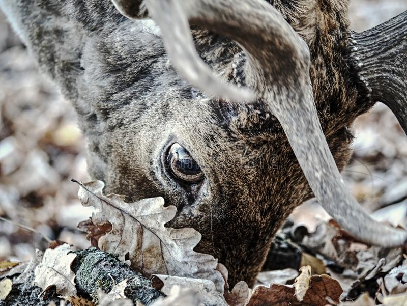 Μεγαλοπρεπές ισχυρό ενήλικο αρσενικό ελάφι ελαφιών αγραναπαύσεων στο δάσος πτώσης στοκ εικόνα με δικαίωμα ελεύθερης χρήσης