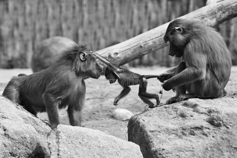 Μεγαλοπρεπές baboon στην αιχμαλωσία στοκ εικόνες