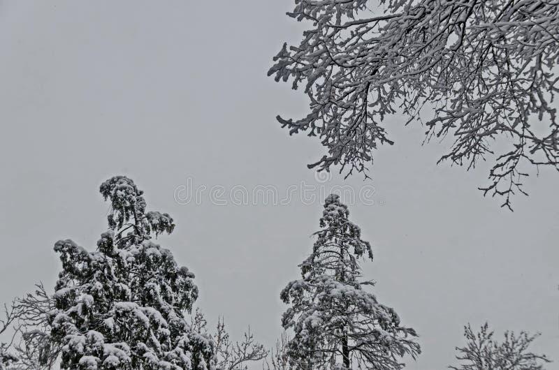 Μεγαλοπρεπής άποψη των χιονωδών τοπ δέντρων στο χειμερινό πάρκο, Bankya στοκ φωτογραφία με δικαίωμα ελεύθερης χρήσης