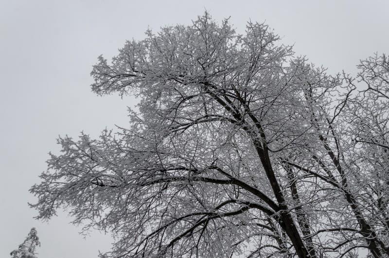 Μεγαλοπρεπής άποψη των χιονωδών τοπ δέντρων στο χειμερινό πάρκο, Bankya στοκ φωτογραφία