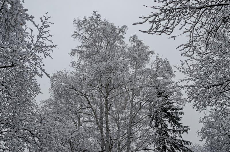 Μεγαλοπρεπής άποψη των χιονωδών τοπ δέντρων στο χειμερινό πάρκο, Bankya στοκ εικόνα