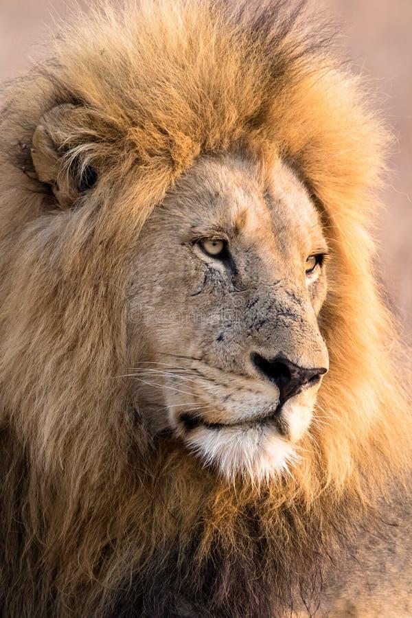 Μεγαλοπρεπή αρσενικά βλέμματα λιονταριών επάνω στο ενδεχόμενο θήραμα στοκ φωτογραφία με δικαίωμα ελεύθερης χρήσης