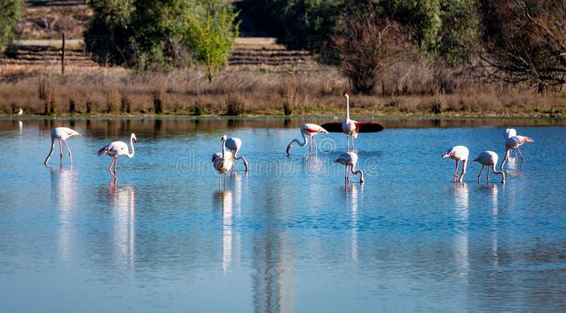 Μεγαλύτερα φλαμίγκο Lagoon Fuente de Piedra, Ανδαλουσία, Ισπανία στοκ εικόνα με δικαίωμα ελεύθερης χρήσης
