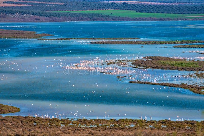 Μεγαλύτερα φλαμίγκο Lagoon Fuente de Piedra, Ανδαλουσία, Ισπανία στοκ φωτογραφίες με δικαίωμα ελεύθερης χρήσης