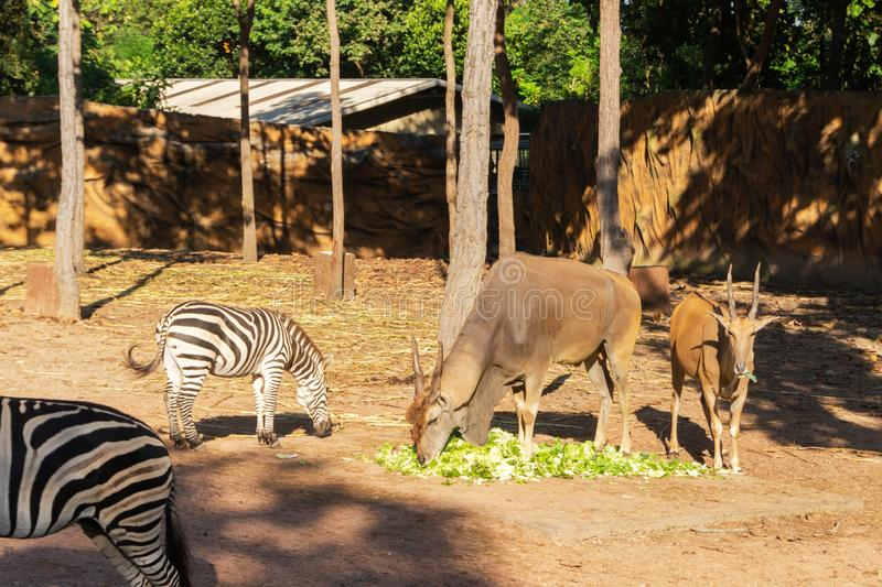 Μεγαλύτερα kudu και με ραβδώσεις στο ζωολογικό κήπο στοκ φωτογραφία