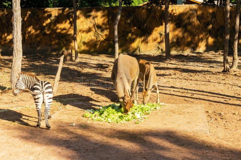 Μεγαλύτερα kudu και με ραβδώσεις στο ζωολογικό κήπο στοκ εικόνα