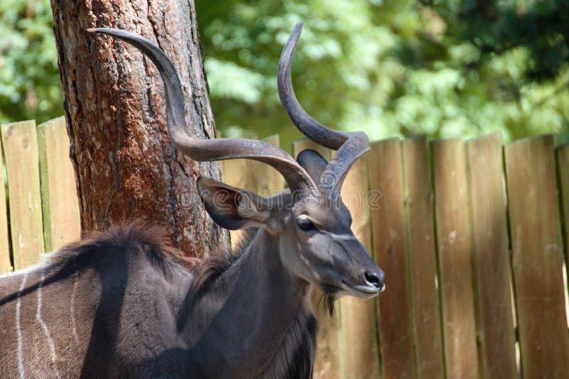 Μεγαλύτερα strepsiceros kudu ή Tragelaphus στοκ εικόνες