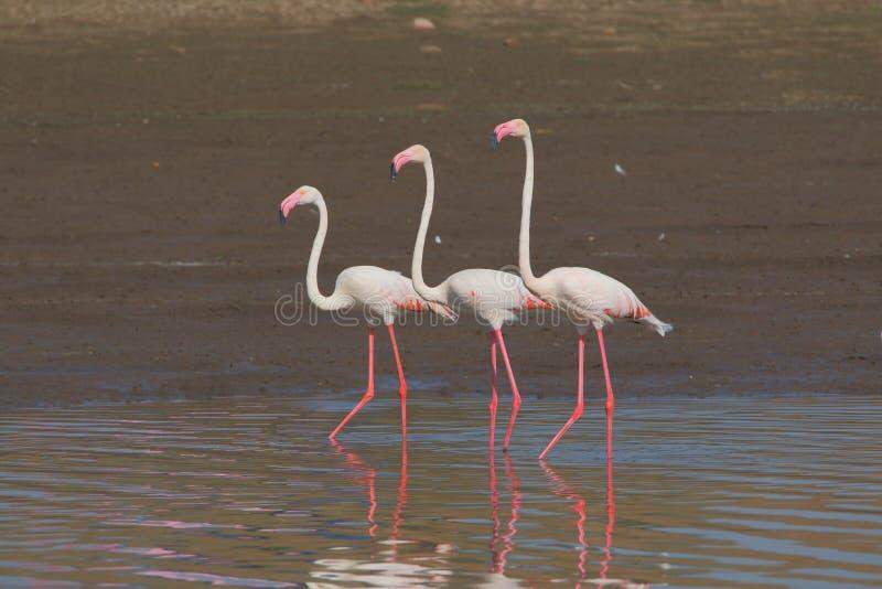 Μεγαλύτερη οικογένεια φλαμίγκο τρία που περπατά στο νερό στοκ φωτογραφίες