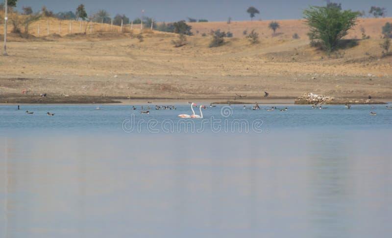 Μεγαλύτερο ζευγάρι φλαμίγκο που κολυμπά στο νερό λιμνών στοκ εικόνες