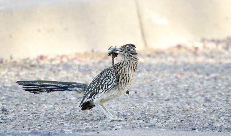 Μεγαλύτερο πουλί Roadrunner με τη σαύρα στο ράμφος, Tucson Αριζόνα, ΗΠΑ στοκ εικόνες