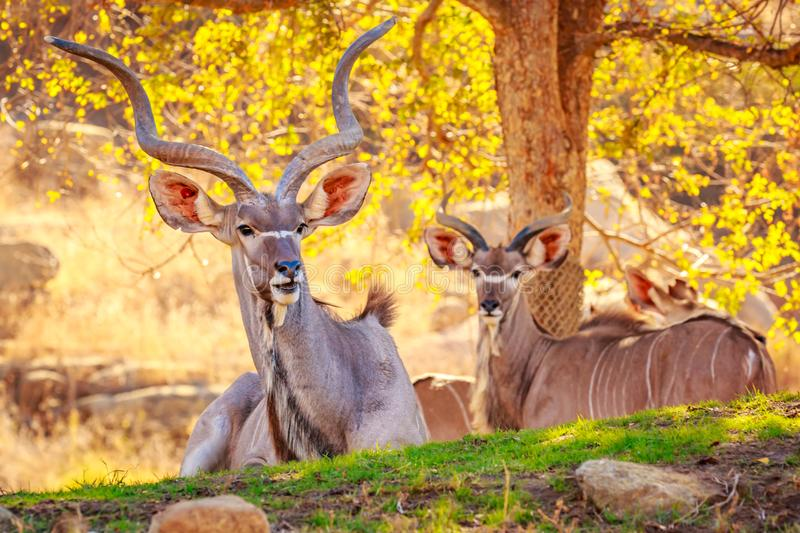μεγαλύτερο kudu στοκ φωτογραφίες