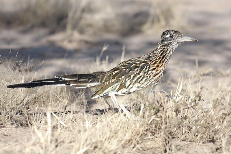 μεγαλύτερο roadrunner πουλιών στοκ φωτογραφίες