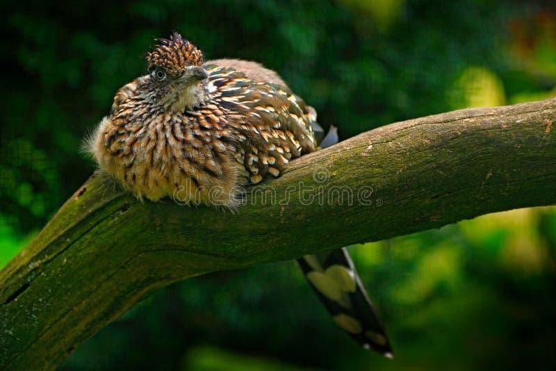 Μεγαλύτερο roadrunner, californianus Geococcyx, συνεδρίαση πουλιών στον κλάδο, Mexiko Κούκος στο βιότοπο φύσης Σκηνή άγριας φύσης στοκ φωτογραφία με δικαίωμα ελεύθερης χρήσης