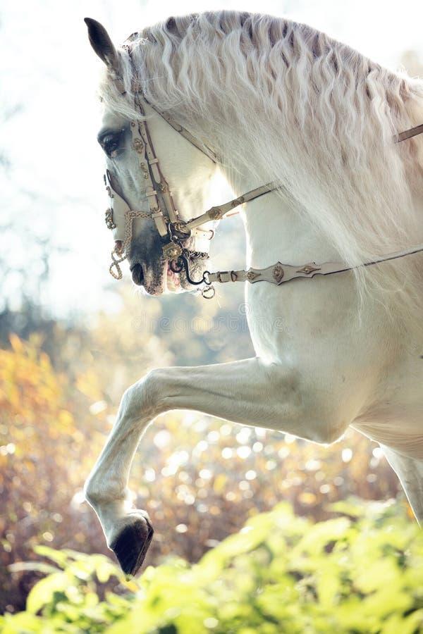 Μεγαλοπρεπές βασιλικό άλογο στην κίνηση στοκ φωτογραφίες με δικαίωμα ελεύθερης χρήσης