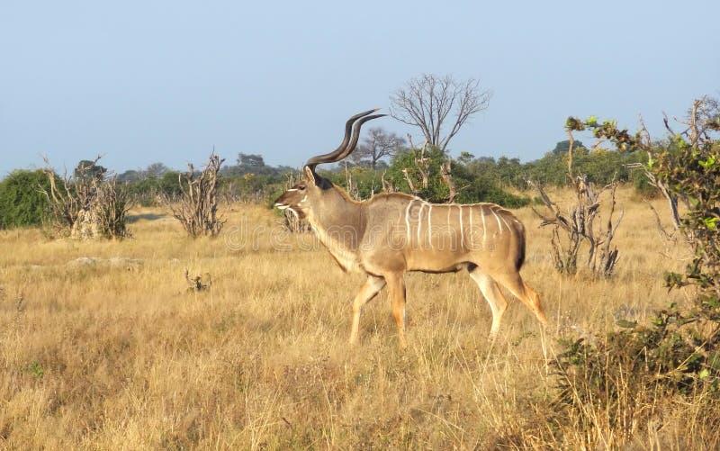 μεγαλύτερο kudu στοκ φωτογραφία με δικαίωμα ελεύθερης χρήσης
