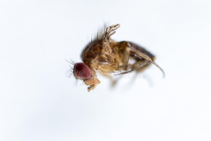 Μελέτη γενετική Drosophila melanogaster της μύγας φρούτων, μύγα ξιδιού για την εκπαίδευση στοκ εικόνες