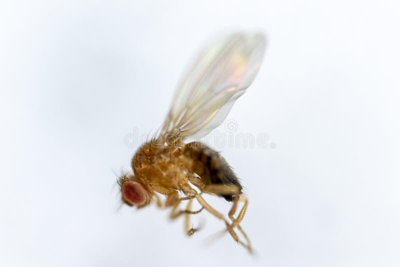 Μελέτη γενετική Drosophila melanogaster της μύγας φρούτων, μύγα ξιδιού για την εκπαίδευση στοκ φωτογραφίες