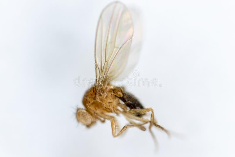 Μελέτη γενετική Drosophila melanogaster της μύγας φρούτων, μύγα ξιδιού για την εκπαίδευση στοκ φωτογραφία