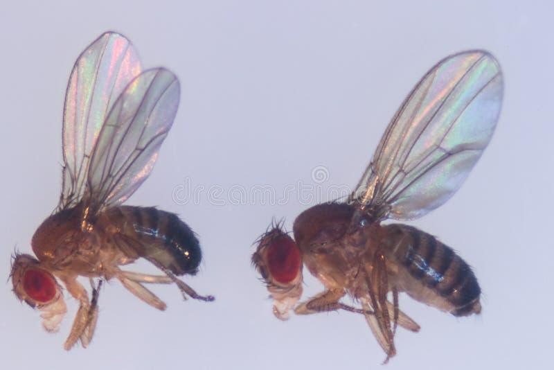 Μελέτη γενετική Drosophila melanogaster της μύγας φρούτων, μύγα ξιδιού στο εργαστήριο  στοκ φωτογραφία με δικαίωμα ελεύθερης χρήσης