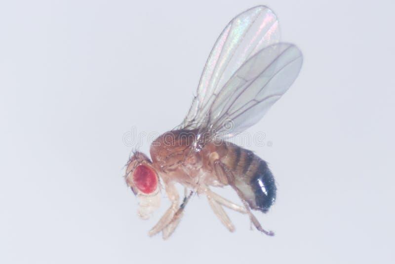 Μελέτη γενετική Drosophila melanogaster της μύγας φρούτων, μύγα ξιδιού στο εργαστήριο  στοκ εικόνες
