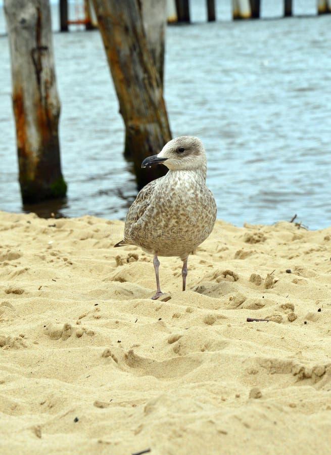 Μελαγχολικός γλάρος στην παραλία στοκ εικόνα με δικαίωμα ελεύθερης χρήσης