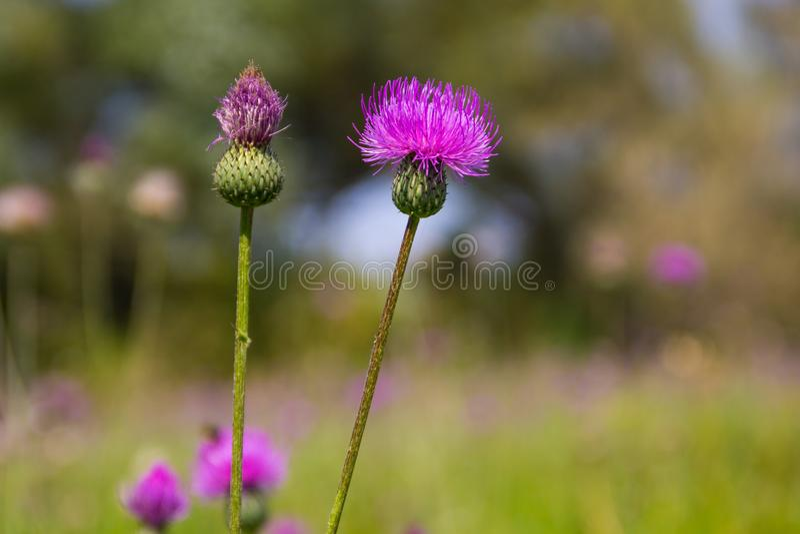 Μελαγχολικός κάρδος Cirsium Heterophyllum στοκ φωτογραφία με δικαίωμα ελεύθερης χρήσης