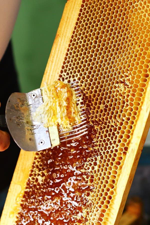 Μελισσοκόμος κινηματογραφήσεων σε πρώτο πλάνο που εκπωματίζει την κηρήθρα με το ειδικό δίκρανο μελισσοκομίας Ακατέργαστο μέλι που στοκ εικόνες