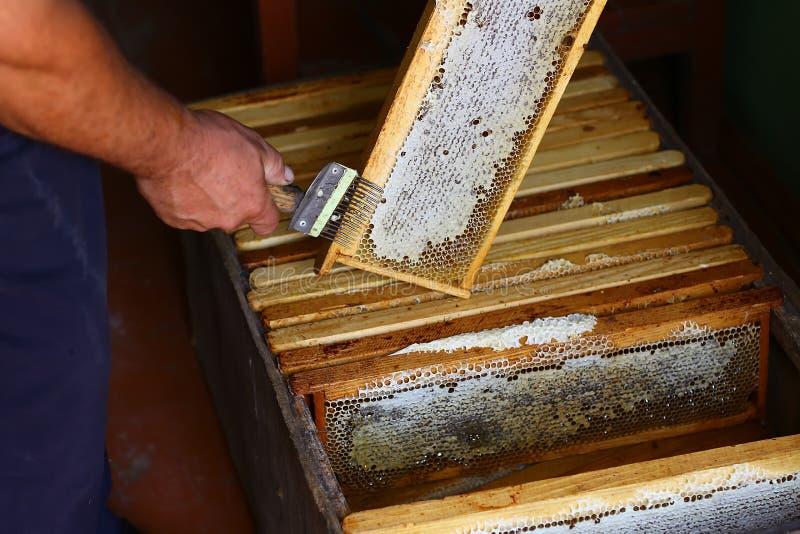 Μελισσοκόμος που εκπωματίζει την κηρήθρα με το ειδικό δίκρανο μελισσοκομίας Έννοια Beeekeeping στοκ εικόνες με δικαίωμα ελεύθερης χρήσης