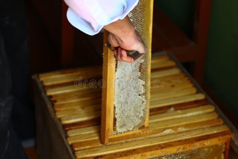 Μελισσοκόμος που εκπωματίζει την κηρήθρα με το ειδικό δίκρανο μελισσοκομίας Έννοια Beeekeeping στοκ φωτογραφία