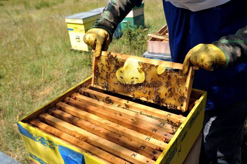Μελισσοκόμος που ελέγχει το μέλι που παράγεται από τις μέλισσες στα ξύλα στοκ φωτογραφία με δικαίωμα ελεύθερης χρήσης