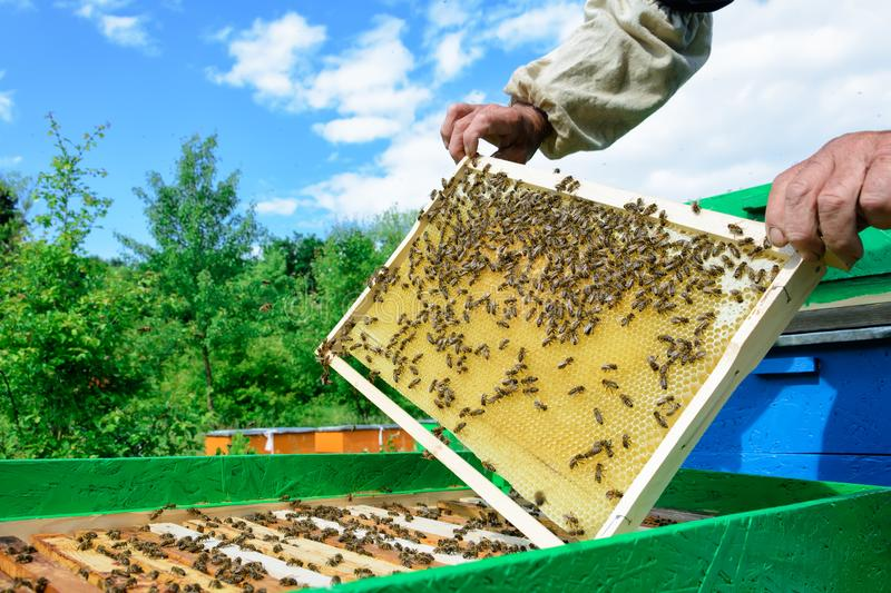 Μελισσοκόμος που κρατά ένα κυψελωτό σύνολο των μελισσών Κυψελωτό πλαίσιο επιθεώρησης μελισσοκόμων στο μελισσουργείο Έννοια μελισσ στοκ εικόνες