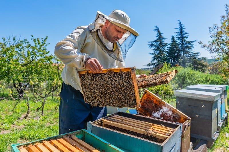 Μελισσοκόμος στην εργασία Ανυψωτικό ράφι φυλάκων μελισσών από την κυψέλη Ο μελισσοκόμος σώζει τις μέλισσες στοκ φωτογραφία