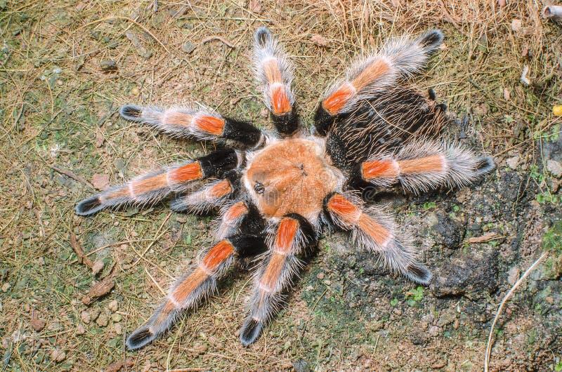 Μεξικάνικη αράχνη Redknee - smithi Brachypelma στοκ φωτογραφία με δικαίωμα ελεύθερης χρήσης
