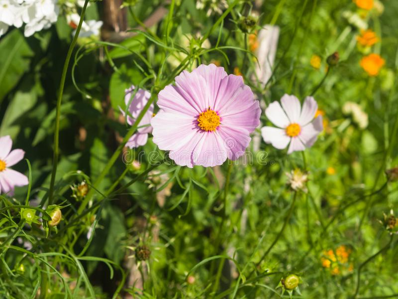 Μεξικάνικος κόσμος αστέρων ή κήπων, bipinnatus κόσμου, ανοικτό μωβ κινηματογράφηση σε πρώτο πλάνο λουλουδιών, εκλεκτική εστίαση,  στοκ φωτογραφία με δικαίωμα ελεύθερης χρήσης