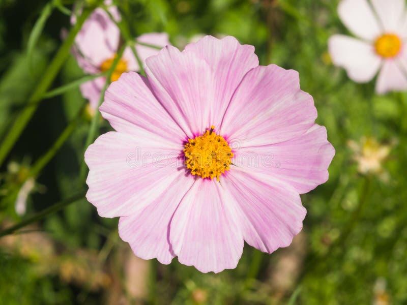 Μεξικάνικος κόσμος αστέρων ή κήπων, bipinnatus κόσμου, ανοικτό μωβ κινηματογράφηση σε πρώτο πλάνο λουλουδιών, εκλεκτική εστίαση,  στοκ εικόνα